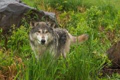 Grey Wolf Canis som lupus ser från gräs mellan, vaggar ut arkivbilder