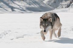 Grey Wolf (Canis-wolfszweer) besluipt vooruit Stock Foto's