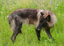 Grey Wolf (Canis-wolfszweer) bevindt zich Linker kijkend royalty-vrije stock foto