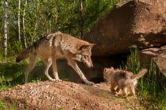 Grey Wolf (Canis-wolfszweer) en het Jong komen samen Stock Foto