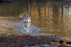 Grey Wolf (Canis-wolfszweer) loopt vooruit Royalty-vrije Stock Afbeelding