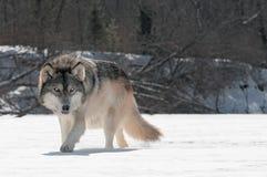 Grey Wolf (Canis-wolfszweer) snuffelt op Rivierbed rond Stock Afbeeldingen