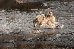 Grey Wolf Canis-wolfszweerlooppas door Water Stock Fotografie