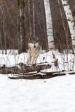 Grey Wolf Canis-wolfszweerlooppas om over Logboeken te springen Stock Foto's