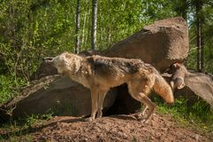 Grey Wolf Canis-wolfszweerschokken weg Stock Afbeeldingen