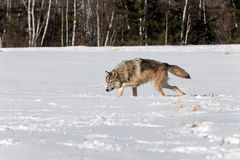 Grey Wolf Canis-wolfszweerstelen Verlaten door Sneeuwgebied Stock Fotografie