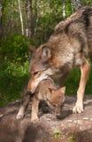 Grey Wolf (Canislupus) arbeten som upp väljer valpen Arkivbilder