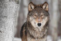 Grey Wolf (Canislupus) bredvid björkträd Royaltyfri Fotografi