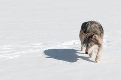 Grey Wolf (Canislupus) förföljer att se lämnad Fotografering för Bildbyråer
