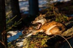 Grey Wolf & x28; Canislupus& x29; gäspa - captive djur royaltyfri fotografi