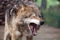 Grey Wolf (Canislupus) gäspningar royaltyfri bild
