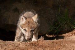 Grey Wolf (Canislupus) klättrar ut ur håla Arkivfoto