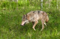 Grey Wolf (Canislupus) kringstrykanden som lämnas till och med gräs Arkivbilder