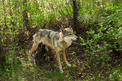 Grey Wolf (Canislupus) matar henne valper Arkivfoton