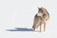 Grey Wolf (Canislupus) står i snö som ser lämnad Royaltyfri Foto