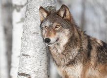 Grey Wolf (Canislupus) vid det enkla björkträdet Royaltyfri Foto