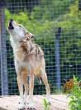 A grey wolf in captivity howling. Unhappy.