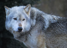 Grey wolf Stock Photos