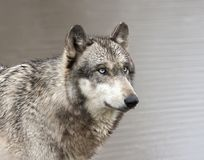 Grey Wolf con los ojos azules se cierra para arriba de principal y de hombros Fotos de archivo libres de regalías