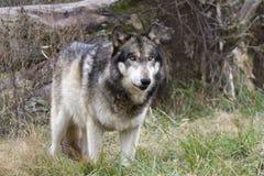 Grey Wolf con los ojos verdes se cierra para arriba Imagen de archivo libre de regalías