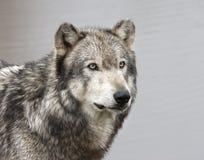 Grey Wolf con los ojos verdes se cierra para arriba Foto de archivo libre de regalías
