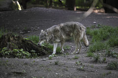 Grey wolf Stock Image