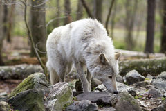 Grey Wolf, der den Geruch aufhebt Stockfotos