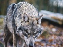 Grey Wolf die door het hout wandelen Royalty-vrije Stock Foto's