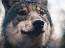Grey Wolf die door het hout wandelen Royalty-vrije Stock Foto