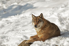 Grey Wolf enjoying a sunbath Royalty Free Stock Photography