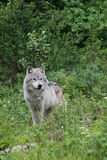 Grey Wolf Royalty Free Stock Photography