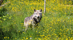 Grey Wolf in a field of buttercups. A Gray Wolf standing in a field of yellow buttercups Stock Image