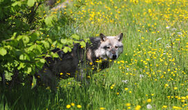 Grey Wolf in a field of buttercups Royalty Free Stock Image