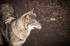 Grey wolf in a forest in autumn Royalty Free Stock Image