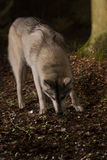 Grey wolf in forest Royalty Free Stock Image