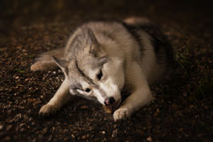 Grey wolf in forest Stock Photo