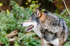 Grey wolf in a forest habitat Royalty Free Stock Image