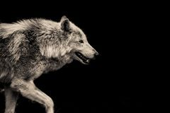 Grey Wolf. In front of a black Background Royalty Free Stock Photos
