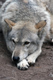 Grey wolf Stock Images