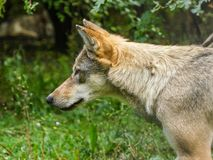 Grey Wolf head close up stock photography