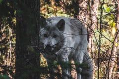 Wolf Behind Tree stock photo