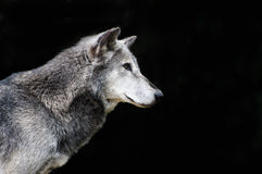 Grey wolf Stock Image
