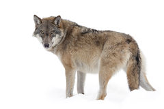 Grey wolf. Isolated on white Royalty Free Stock Images