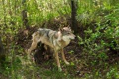 Grey Wolf (lúpus de Canis) alimenta-lhe filhotes de cachorro Fotos de Stock