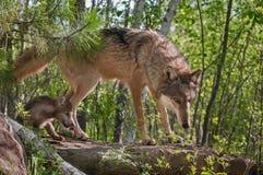 Grey Wolf (lúpus de Canis) e caminhada do filhote de cachorro na rocha Fotos de Stock Royalty Free