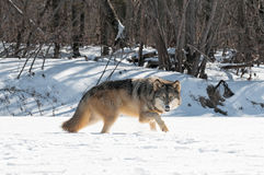 Grey Wolf (lúpus de Canis) move-se certo ao longo do leito fluvial nevado Fotos de Stock