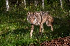 Grey Wolf (lúpus de Canis) trota em torno do canto Fotografia de Stock