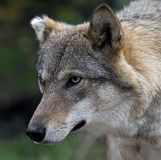 Grey wolf 4 Stock Photography