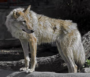 Grey wolf 6 Stock Image