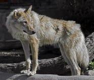 Grey wolf 6 Stock Image